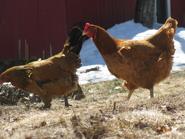 two chickens next to the side of a red barn