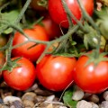 Tips for Maximizing Your Tomato Yield